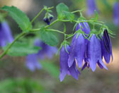 Maywood Bluebell flowers